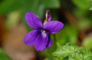 Immagini Fiori Violette.Violetta Timida E Profumata Foglie Di Alchemilla